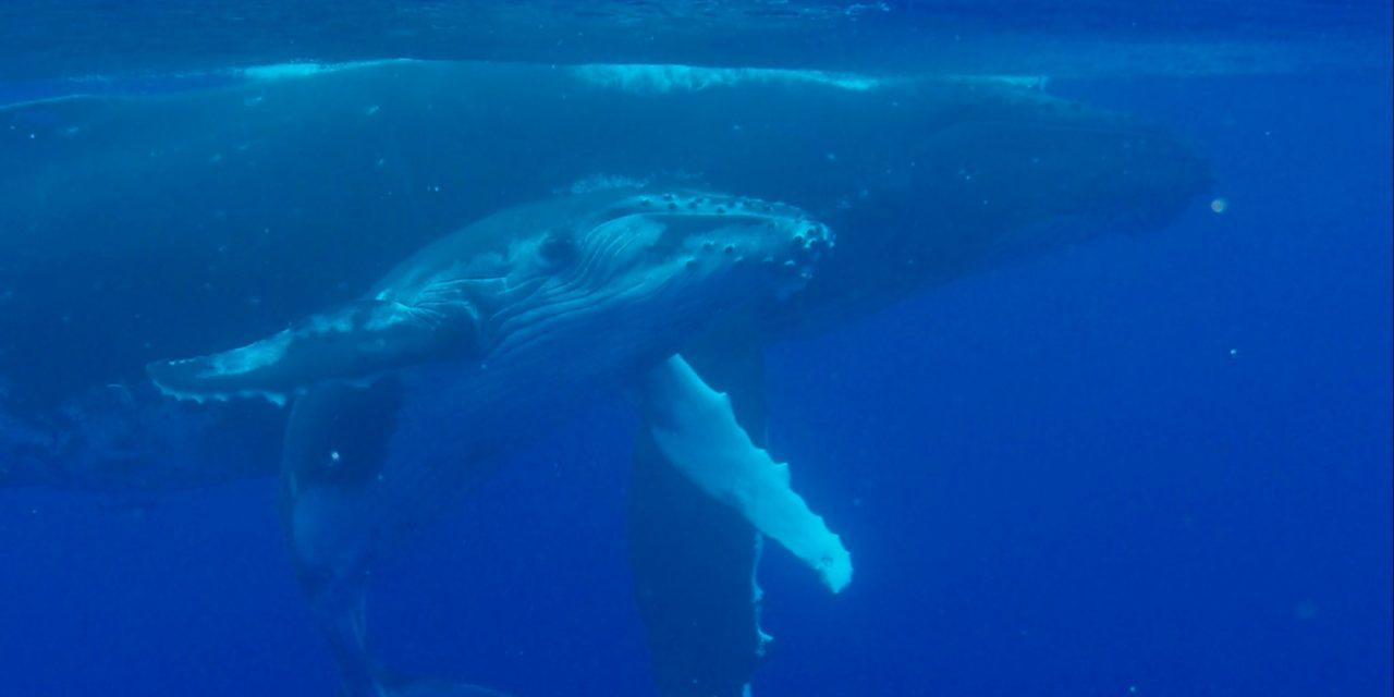Whales in Moorea  short film